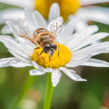 Lunch In The Sun. A hoverfly sits atop an ox eye daisy royalty free stock images