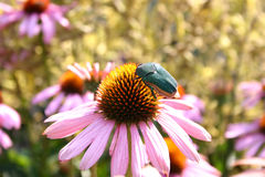 Lunch time. Beatle eating the nectar off of a flower royalty free stock photography