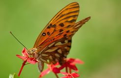Lunch time. Orange butterfly feeding on a red flower Stock Image