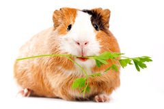 Lunch time. Funny guinea pig portrait over white background Royalty Free Stock Images