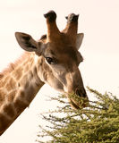 Lunch-time for an African Giraffe stock photography