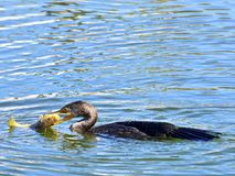 Cormorant With Fish Stock Image