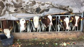 Lunch time for cows, Switzerland stock video