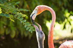 Lunch time for junior flamingo ( greater flamingo specimen, Phoenicopterus roseus), zoologic. Lunch time for junior flamingo (greater flamingo, Phoenicopterus Royalty Free Stock Photography