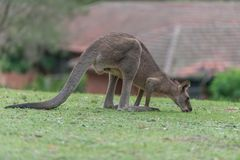 Lunch time. Kangaroo having a lunch in the meadow Royalty Free Stock Images