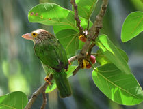 Lunch time. Lineated Barbet Royalty Free Stock Photography