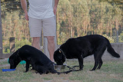 Lunch time. It`s lunch time for these future guide dogs royalty free stock photo