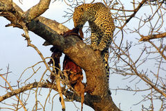 Lunching Leopard. Leopard eating a kill of impala in a tree, Ngala Private Game Reserve, South Africa Royalty Free Stock Image