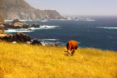 Lunchtime. A cow grazing along highway 1 in California Royalty Free Stock Images