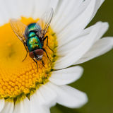 Lunchtime Exploration. A greenbottle fly feeds from an ox eye daisy Stock Image