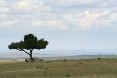 Lunchtime, safari style. Lunch in the Masai mara when out for the whole day, takes place under one of these wonderful trees in an open area. The predators can be Stock Images