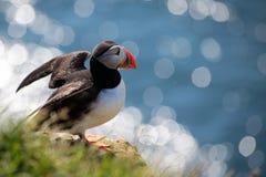 Lundi atlantisk lunnefågel Royaltyfria Foton