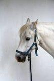 Lundy Pony Stockbild