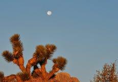 Lune au-dessus de cactus Photographie stock libre de droits