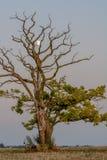 Lune coincée dans un arbre Photographie stock
