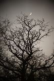 Lune d'ongle au-dessus du chêne majestueux photographie stock