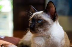 Lune Diamond Cat Photographie stock libre de droits