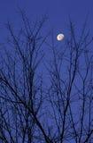 Lune encadrée par des branchements d'arbre Photo libre de droits