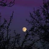 Lune se levant au-dessus des arbres en ciel pourpré Image stock