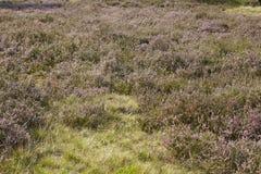 Luneburg荒地-欧石南丛生的荒野 库存照片