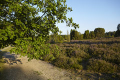 Luneburg Heath - Brunch of an oak tree and heath landscape Stock Images