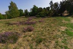Luneburg hed i sommar, Europa arkivbilder