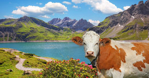 Luner see and milk cow, austria Royalty Free Stock Photo