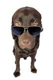 lunettes de soleil fraîches de Labrador Photographie stock libre de droits