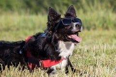 Lunettes de soleil de port de chien heureux de border collie Images libres de droits