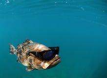 Lunettes de soleil s'usantes de poissons frais Photos stock