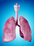 The lung anatomy Stock Photos