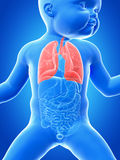The lung of a baby Stock Images