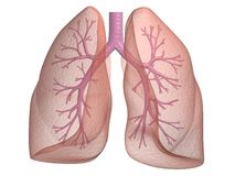 Lung with bronchi stock photos