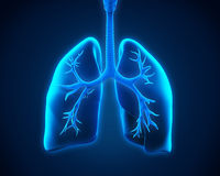 Lung and Bronchi. Illustration of Lung and Bronchi. 3D render Royalty Free Stock Photo