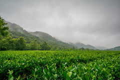 Lung Ching tea fields around Hangzhou, China Royalty Free Stock Photography
