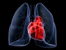 Lung and heart Royalty Free Stock Photo