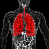 The lung. Medical 3d illustration of the lung Royalty Free Stock Photos
