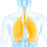 The lung. Medical 3d illustration of the lung Stock Image