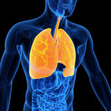 The lung. Medical 3d illustration of the lung Stock Photos