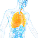The lung. Medical 3d illustration of the lung Royalty Free Stock Images