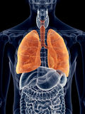 The lung Royalty Free Stock Photo