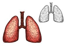 Lung organ of human anatomy isolated sketch. Of respiratory system. Pair of lungs, internal organs of human body with trachea for medicine, science, biology and Royalty Free Stock Photo