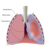 Lung pleura and pleural cavity Royalty Free Stock Photography