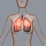 Lung Royalty Free Stock Photo