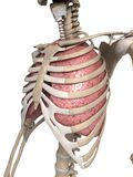 Lung and thorax Royalty Free Stock Photos
