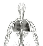 Lung X-ray Royalty Free Stock Photos