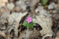 Lungen, Frühlingsblumen Stockfoto