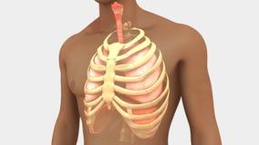 Lungen und Rib Cage vektor abbildung