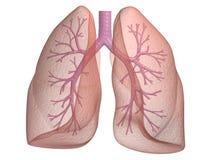 Lungenflügel mit den Bronchien Stockfotos
