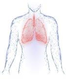 Lungeninneres organ infektion der menschlichen Lungen Atmungssystem innerhalb des Körper-Schattenbildes Niedriger Poly-3d verbund Lizenzfreies Stockbild